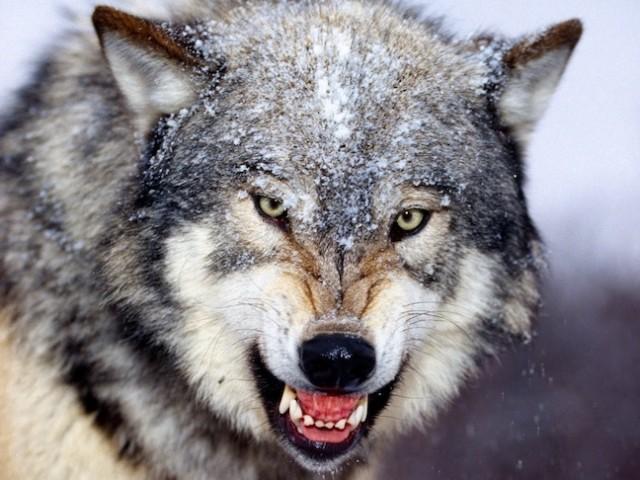 graywolfface-e1407707040736